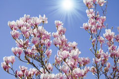 Blue sky with magnolia blossom Royalty Free Stock Photo