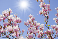 Blue sky with magnolia blossom Royalty Free Stock Image