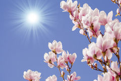 Blue sky with magnolia blossom Royalty Free Stock Photos