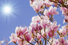 Blue sky with magnolia blossom Stock Image