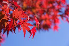 Blue sky and maple leaves Stock Photo