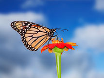 Blue Sky Monarch. A Monarch Butterfly On A Red Flower Against A Blue Sky Background, Danaus plexippus Royalty Free Stock Image