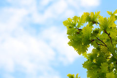 Blue sky and oak leaves. Blue sky with light clouds and oak branch Royalty Free Stock Images