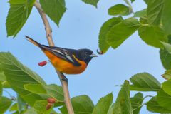 Blue Sky Oriole royalty free stock photography