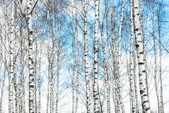 Blue Sky Over Birch Forest royalty free stock photography