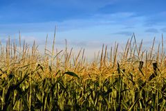 Blue sky over crops Stock Image