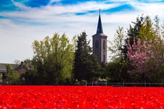 Blue sky over deep red tulip field and church near village of Lisse, Holland Stock Photo