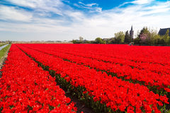 Blue sky over deep red tulip fields near village of Lisse, Holland Stock Images