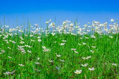 Blue sky over a field of white flowers royalty free stock photos