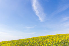 Blue sky over mustard field Stock Images