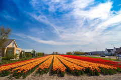 Blue sky over orange and yellow tulip fields near village of Lisse, Holland. Blue sky over orange and yellow tulip fields near village of Lisse in the Royalty Free Stock Photos