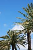 Blue sky over palm alley Royalty Free Stock Photos