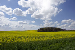 Blue sky over the rape field Royalty Free Stock Image