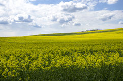 Blue sky over the rape field Stock Images