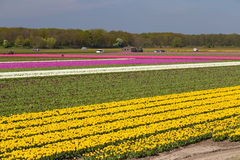 Blue sky over yellow and pink tulip fields near village of Lisse, Holland Stock Images