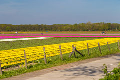 Blue sky over yellow and pink tulip fields near village of Lisse, Holland Stock Photos