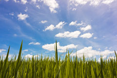 Blue sky and paddy rice field Royalty Free Stock Photos