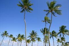 Blue sky palm trees in Florida tropical royalty free stock images