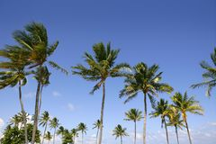 Blue sky palm trees in Florida tropical Stock Photo