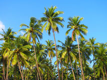 Blue sky palm trees on Palolem beach, Goa, India Royalty Free Stock Photos