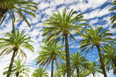 Blue sky palm trees in tropical summer Stock Photos