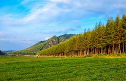 Blue sky and pine forest. The pine woods under the blue sky are very beautiful and moving Royalty Free Stock Image