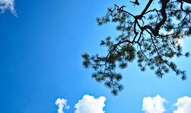 Into blue sky. Pine's branch with the blue sky background Stock Photos