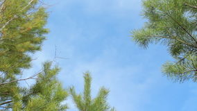 Blue sky and pine tree branches, beautiful natural background stock video footage