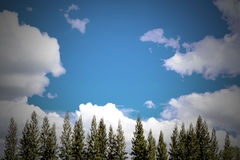 Blue sky and pine tree with copy space Royalty Free Stock Photos