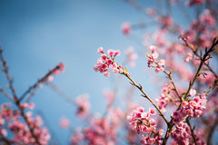 Blue sky and pink flower cherry blossom Royalty Free Stock Photography