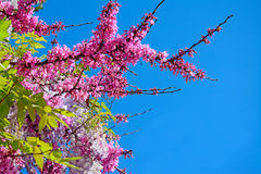 Blue sky and pink flowers Royalty Free Stock Photos
