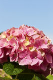 Blue sky and pink petals Royalty Free Stock Photography