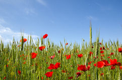 Blue sky and poppy field. Image with blue sky and poppy field from low angle Royalty Free Stock Photo