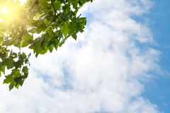 Blue sky, puffy clouds and fresh green tree Royalty Free Stock Images