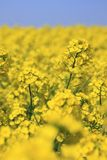 Blue  sky and field, canola crops Stock Images