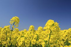 Blue  sky and field, canola crops Stock Image