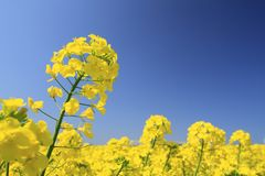Blue  sky and Rape field, canola crops Royalty Free Stock Image