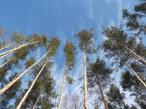 Blue sky. Rare clouds. Forest. Pine to the sky. A bright Sunny day. Pine. Stock Image