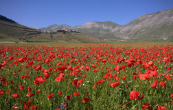 Blue sky and red poppies. A view of the village of Castelluccio di Norcia in Umbria with fields of red poppies Stock Photography