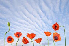 Blue sky and red poppies Stock Photos