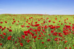 Blue sky and red poppies. Meadow with red poppies and corn against a blue sky stock image