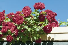 Blue sky and red roses. Red roses and green leaves, blue sky Royalty Free Stock Photo