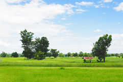 Blue Sky And Rice Field. Rice Field Landscape With Clear Blue Sky In Thailand Stock Photo