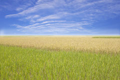 Blue sky and a rice filed Royalty Free Stock Photos