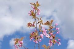 Blue sky sakura spring season tree prunus flower garden. Japanese blooming blossom no people nature beauty Stock Photo