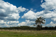 A Blue Sky with sharp white clouds. Pine trees, below a Blue sky with sharp white clouds, in the middle of the biggest nature reserve in the Netherlands Stock Photos