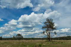 A Blue Sky with sharp white clouds. Pine trees, below a Blue sky with sharp white clouds, in the middle of the biggest nature reserve in the Netherlands Stock Photo