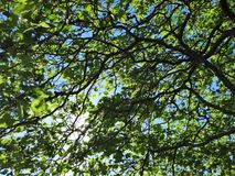 Blue sky shines through leaves and branches in forest. Morning sun shining brightly through tree branches in early summer stock photos