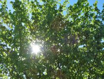 Blue sky shines through leaves and branches in forest. Morning sun shining brightly through tree branches in early summer stock photography