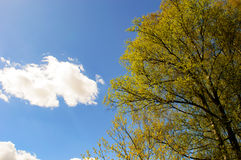 Blue sky, small cloud and a yellow colored tree. On the left on a spring morning Stock Photo